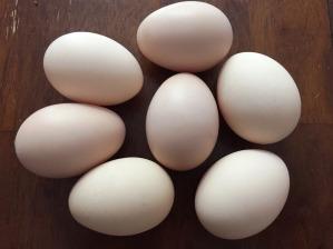 Buff Orpington Hatching Eggs