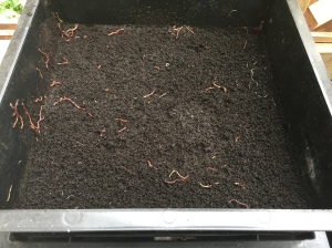 Finished compost, bottom layer, worms fleeing