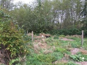 Goats clearing new garden area
